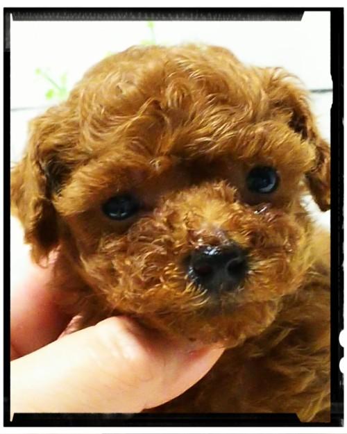 トイプードルの子犬(ID:1265411003)の1枚目の写真/更新日:2018-07-19