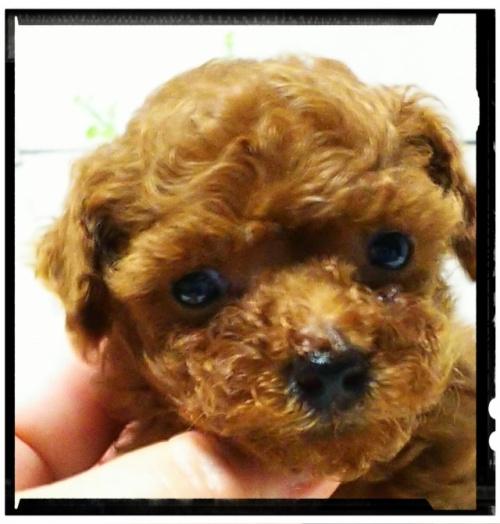 トイプードルの子犬(ID:1265411003)の3枚目の写真/更新日:2018-07-19