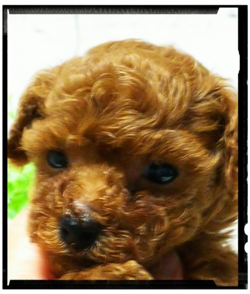 トイプードルの子犬(ID:1265411003)の4枚目の写真/更新日:2018-07-19
