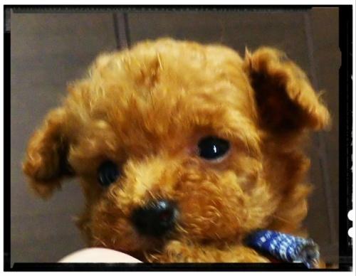 トイプードルの子犬(ID:1265411004)の1枚目の写真/更新日:2018-07-19