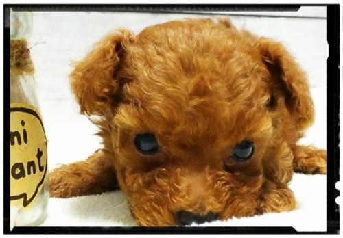トイプードルの子犬(ID:1265411004)の2枚目の写真/更新日:2018-07-19