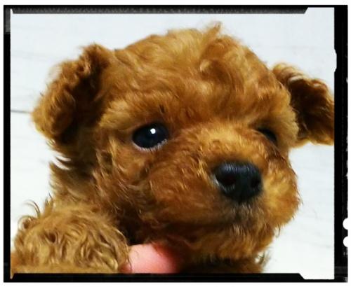 トイプードルの子犬(ID:1265411004)の3枚目の写真/更新日:2018-07-19