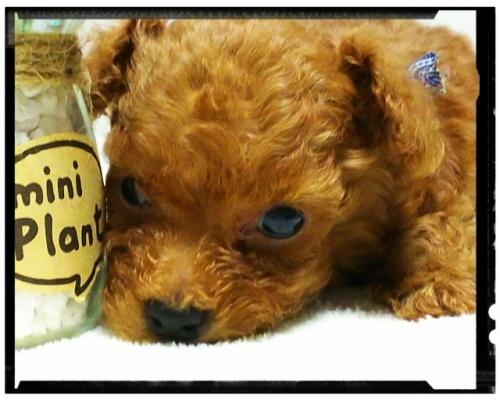 トイプードルの子犬(ID:1265411004)の4枚目の写真/更新日:2018-07-19