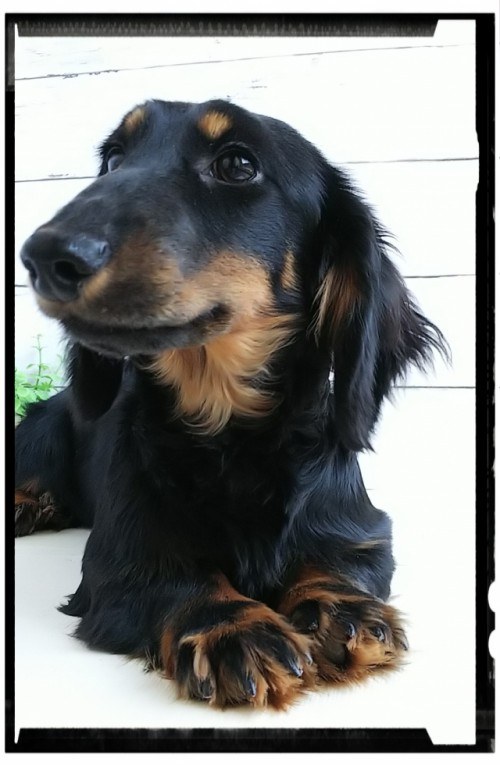 ミニチュアダックスフンド(ロング)の子犬(ID:1265411005)の1枚目の写真/更新日:2017-01-26