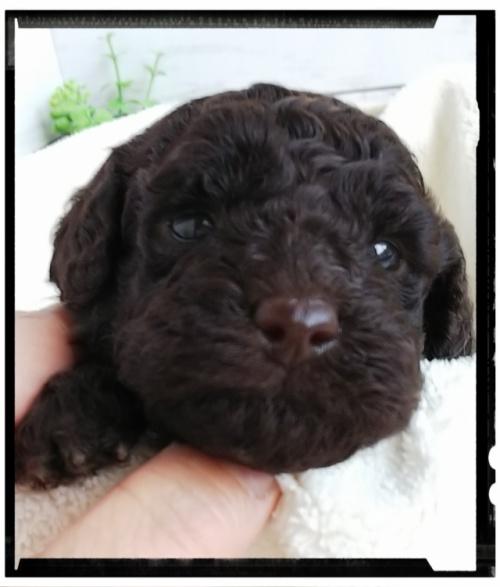 トイプードルの子犬(ID:1265411006)の1枚目の写真/更新日:2018-10-08