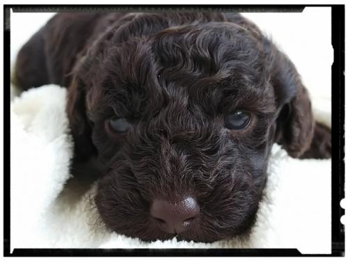 トイプードルの子犬(ID:1265411006)の3枚目の写真/更新日:2018-10-08