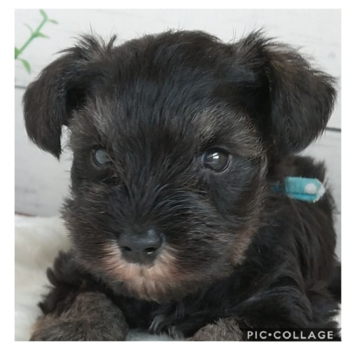 ミニチュアシュナウザーの子犬(ID:1265411007)の1枚目の写真/更新日:2019-03-25