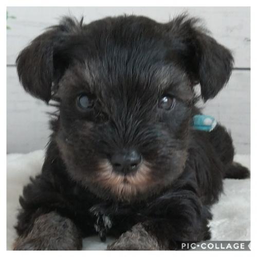 ミニチュアシュナウザーの子犬(ID:1265411007)の2枚目の写真/更新日:2017-04-14