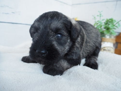 ミニチュアシュナウザーの子犬(ID:1265411007)の3枚目の写真/更新日:2019-03-25