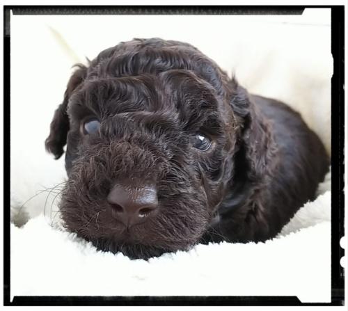 トイプードルの子犬(ID:1265411008)の1枚目の写真/更新日:2018-10-08