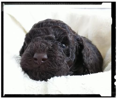 トイプードルの子犬(ID:1265411008)の3枚目の写真/更新日:2018-10-08