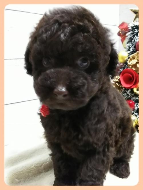 トイプードルの子犬(ID:1265411009)の1枚目の写真/更新日:2018-12-24