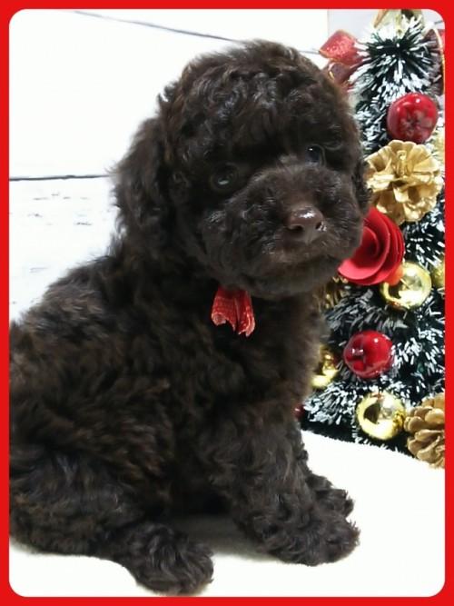 トイプードルの子犬(ID:1265411009)の2枚目の写真/更新日:2018-12-24