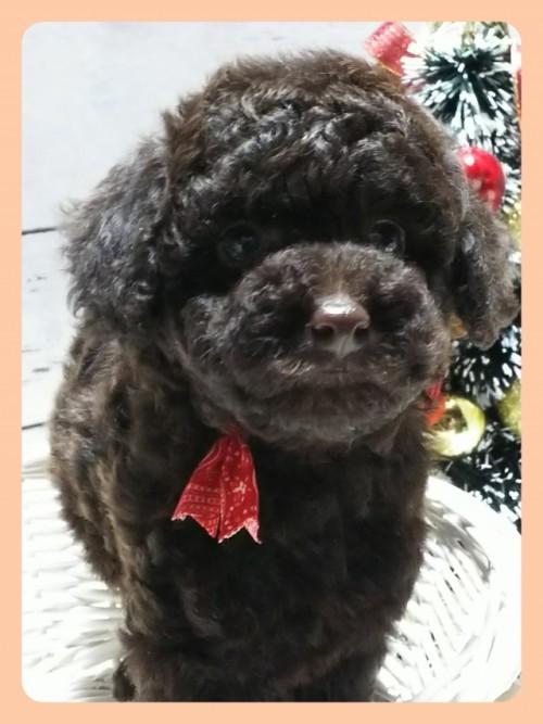 トイプードルの子犬(ID:1265411009)の3枚目の写真/更新日:2018-12-24