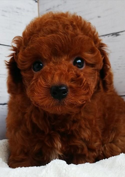 トイプードルの子犬(ID:1265411010)の1枚目の写真/更新日:2019-03-08