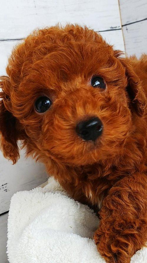 トイプードルの子犬(ID:1265411010)の2枚目の写真/更新日:2017-05-26