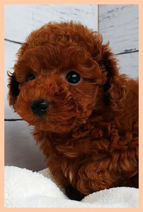 トイプードルの子犬(ID:1265411010)の3枚目の写真/更新日:2019-03-08