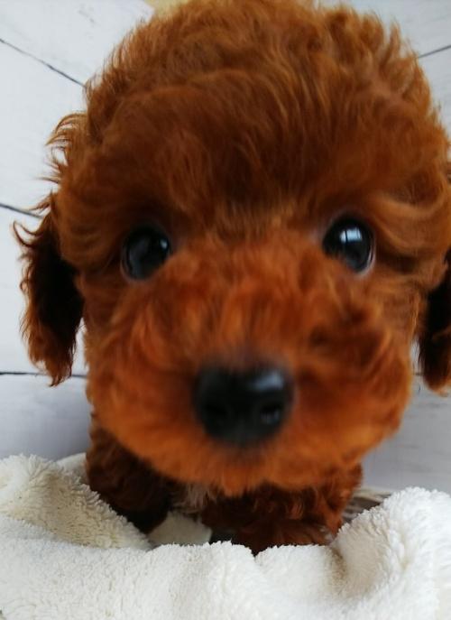 トイプードルの子犬(ID:1265411010)の4枚目の写真/更新日:2019-03-08