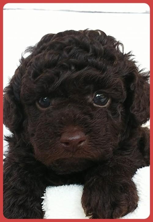 トイプードルの子犬(ID:1265411011)の1枚目の写真/更新日:2019-04-23