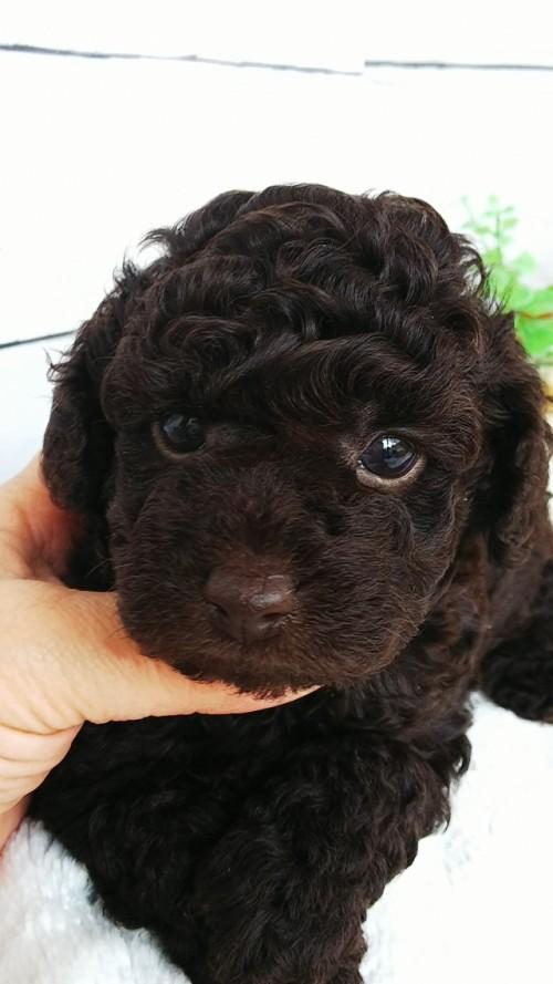 トイプードルの子犬(ID:1265411011)の2枚目の写真/更新日:2019-04-23