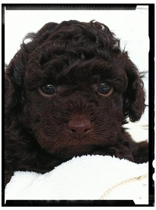 トイプードルの子犬(ID:1265411011)の3枚目の写真/更新日:2019-04-23