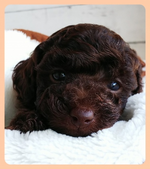トイプードルの子犬(ID:1265411012)の1枚目の写真/更新日:2019-05-31