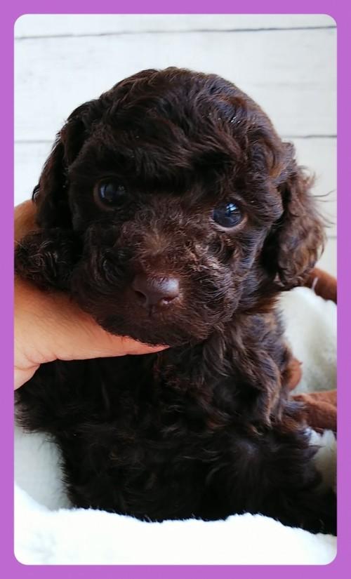 トイプードルの子犬(ID:1265411012)の2枚目の写真/更新日:2019-05-31