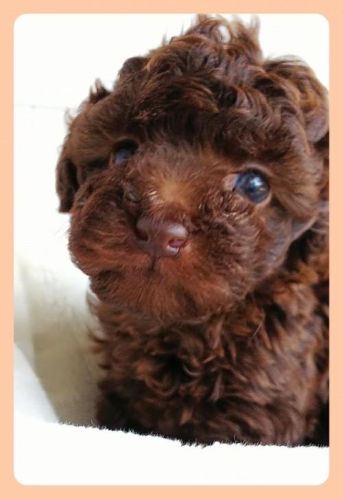 トイプードルの子犬(ID:1265411013)の1枚目の写真/更新日:2017-06-20