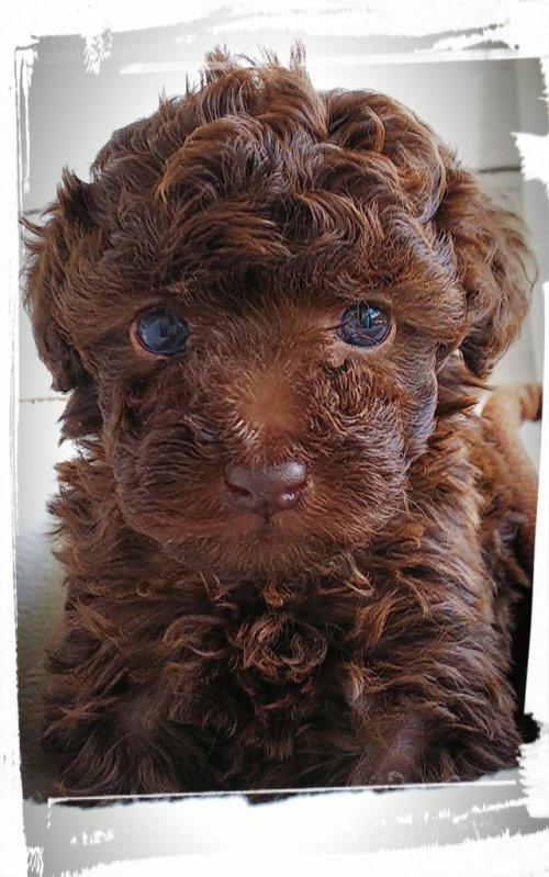 トイプードルの子犬(ID:1265411013)の2枚目の写真/更新日:2019-05-31