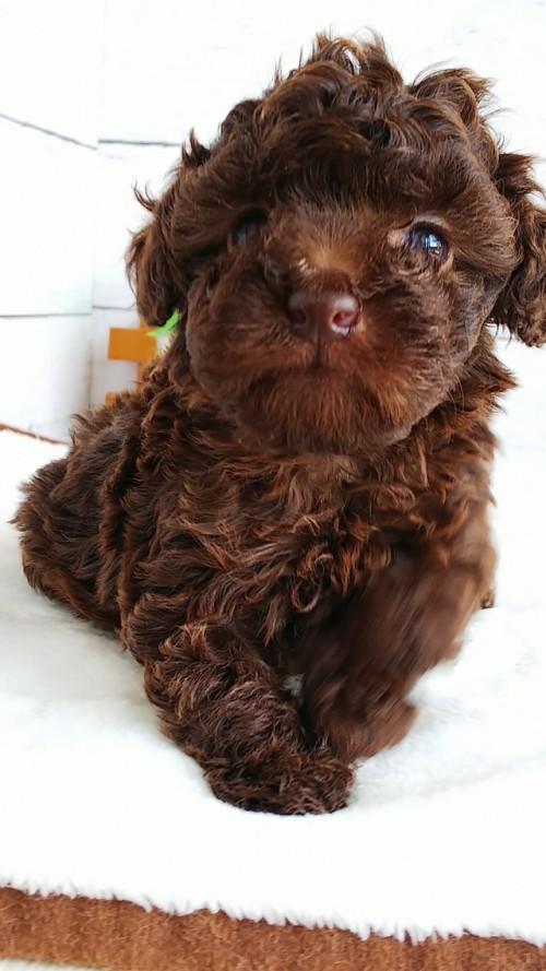 トイプードルの子犬(ID:1265411013)の3枚目の写真/更新日:2019-05-31
