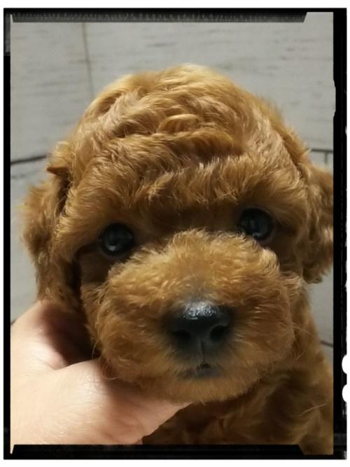 トイプードルの子犬(ID:1265411015)の1枚目の写真/更新日:2017-06-30