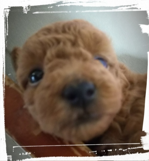 トイプードルの子犬(ID:1265411015)の2枚目の写真/更新日:2018-08-09
