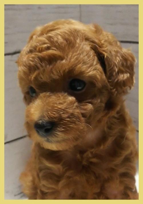 トイプードルの子犬(ID:1265411015)の3枚目の写真/更新日:2018-08-09
