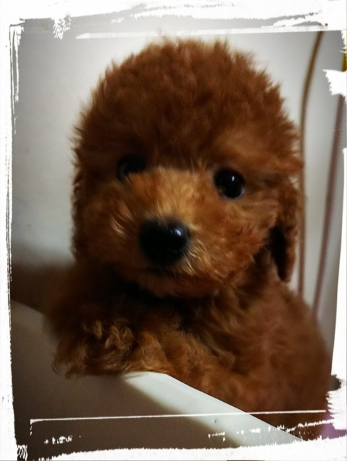 トイプードルの子犬(ID:1265411016)の1枚目の写真/更新日:2017-07-21