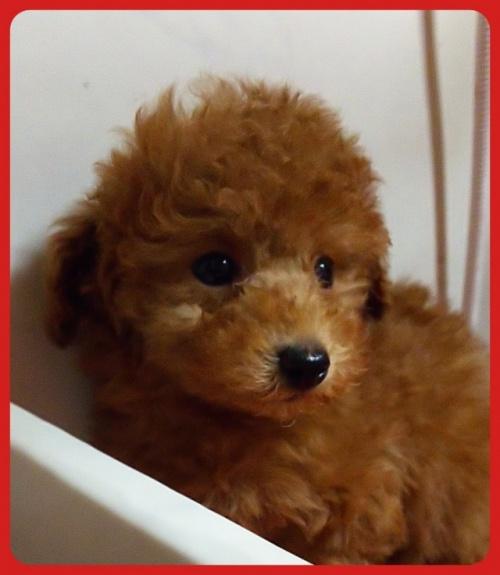 トイプードルの子犬(ID:1265411016)の2枚目の写真/更新日:2017-07-21