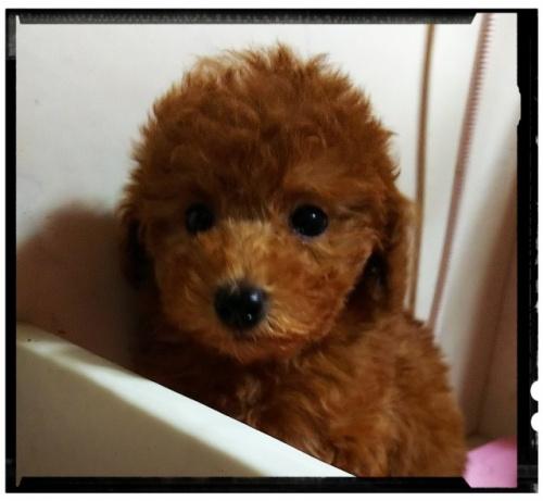 トイプードルの子犬(ID:1265411016)の3枚目の写真/更新日:2017-07-21