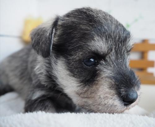 ミニチュアシュナウザーの子犬(ID:1265411019)の2枚目の写真/更新日:2019-03-25