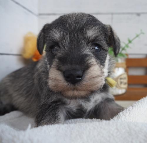 ミニチュアシュナウザーの子犬(ID:1265411019)の3枚目の写真/更新日:2019-03-25