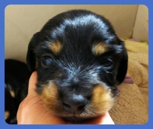 ミニチュアダックスフンド(ロング)の子犬(ID:1265411020)の1枚目の写真/更新日:2019-04-08