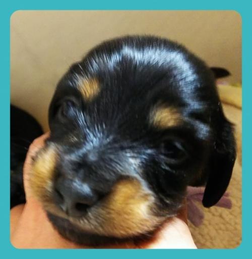 ミニチュアダックスフンド(ロング)の子犬(ID:1265411020)の2枚目の写真/更新日:2019-04-08