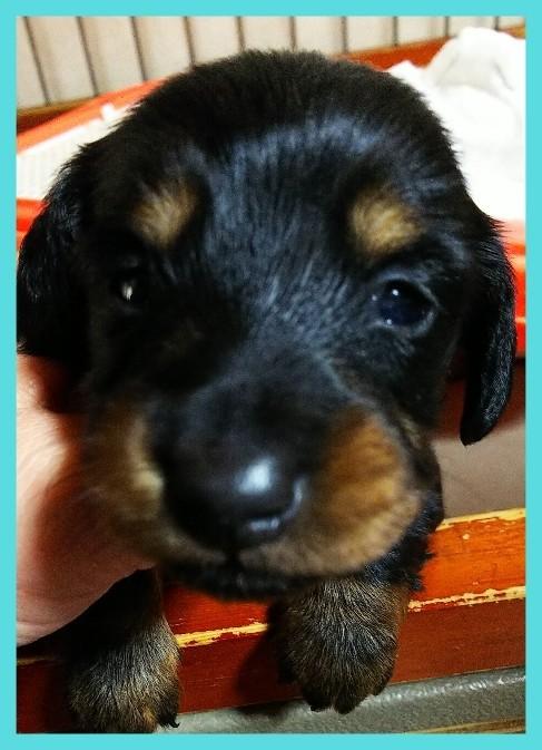 ミニチュアダックスフンド(ロング)の子犬(ID:1265411020)の3枚目の写真/更新日:2019-04-08