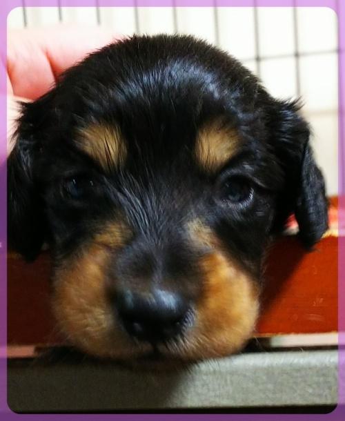 ミニチュアダックスフンド(ロング)の子犬(ID:1265411021)の1枚目の写真/更新日:2017-10-30