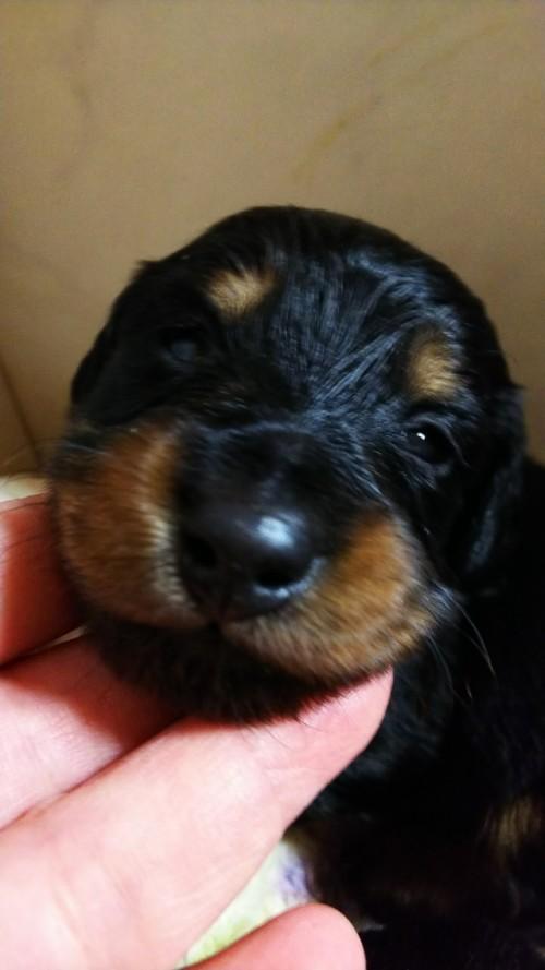 ミニチュアダックスフンド(ロング)の子犬(ID:1265411021)の2枚目の写真/更新日:2019-04-08