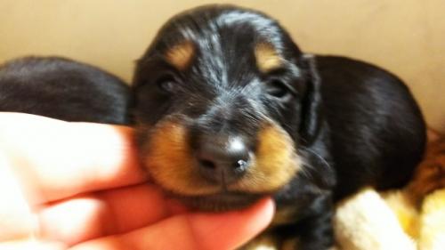 ミニチュアダックスフンド(ロング)の子犬(ID:1265411021)の3枚目の写真/更新日:2019-04-08