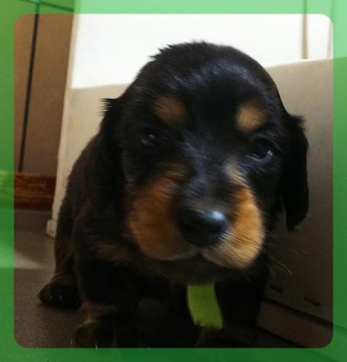 ミニチュアダックスフンド(ロング)の子犬(ID:1265411022)の1枚目の写真/更新日:2019-04-08