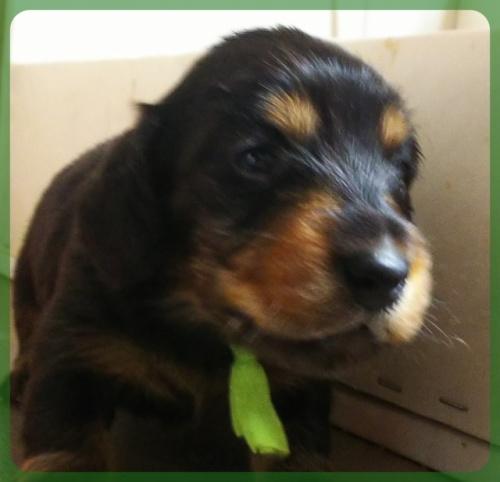 ミニチュアダックスフンド(ロング)の子犬(ID:1265411022)の2枚目の写真/更新日:2019-04-08