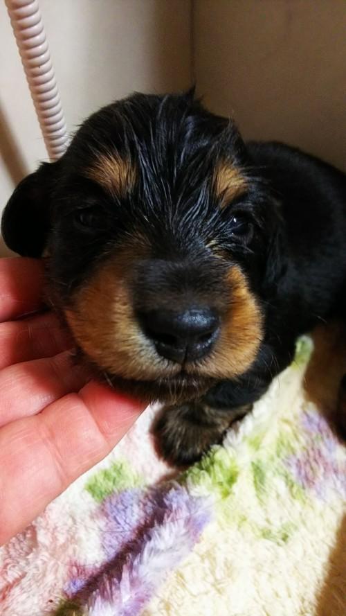 ミニチュアダックスフンド(ロング)の子犬(ID:1265411022)の3枚目の写真/更新日:2019-04-08