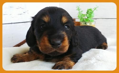 ミニチュアダックスフンド(ロング)の子犬(ID:1265411023)の1枚目の写真/更新日:2017-10-30