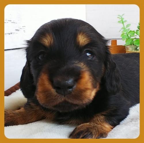 ミニチュアダックスフンド(ロング)の子犬(ID:1265411023)の2枚目の写真/更新日:2017-10-22