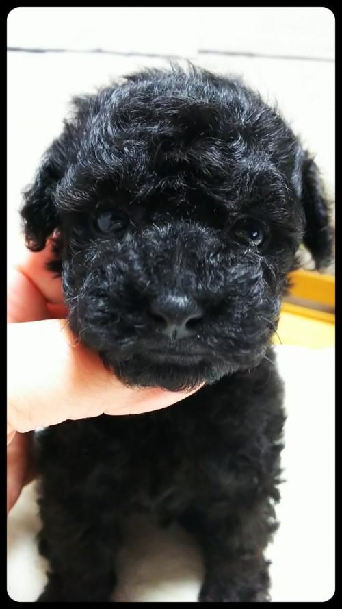 トイプードルの子犬(ID:1265411024)の1枚目の写真/更新日:2017-10-30